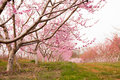 Peach orchard in bloom an of trees covered pink flowers Royalty Free Stock Photography