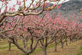 Peach orchard blossoms osoyoos a in full of in spring okanagan british columbia canada Royalty Free Stock Photography