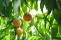 Peach Orchard 14