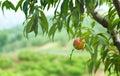 Peach Orchard 17