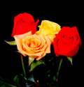 Peach red and yellow roses isolated over black Stock Images