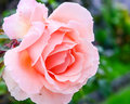 Peach rose Royalty Free Stock Photo