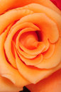 Peach rose close up macro of a Stock Photography