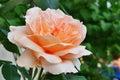 Peach rose closeup