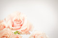 Peach rose cluster with vignette soft coral pink bunch on light background high key lighting Royalty Free Stock Photos