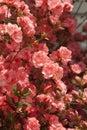 Peach Spring Azalea Blossoms Royalty Free Stock Photo