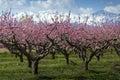 Peach tree Royalty Free Stock Photo