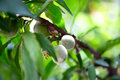 Peach tree with green young fruits with blurred background Royalty Free Stock Photo