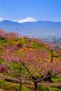 Peach tree and mt fuji in spring yamanashi japan Stock Images