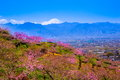 Peach tree and mt fuji in spring yamanashi japan Royalty Free Stock Image