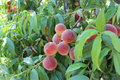 Peach tree with peaches fresh on Stock Photography