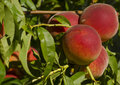 Peach tree ripe peaches on the branch of a Royalty Free Stock Photography