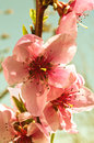 Peach trees in bloom early spring morning Royalty Free Stock Photography