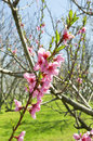 Peach trees in bloom spring season Royalty Free Stock Photography