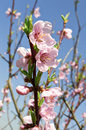 Peach trees in bloom spring season background image Royalty Free Stock Photos