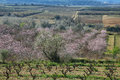 Peach trees in flowering period and vineyards san pau del ordal catalonia spain Royalty Free Stock Photography
