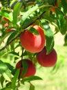 Peaches Стоковые Изображения