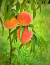Peaches on Green, Grassy Background Stock Photo