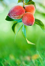 Peaches growing on tree Royalty Free Stock Images