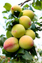 Peaches ripening on orchard tree healthy fruit Stock Photo