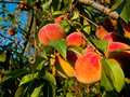 Peaches on tree Stock Images
