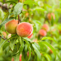 Peaches on a tree Royalty Free Stock Image