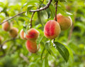Peaches on a tree Royalty Free Stock Images