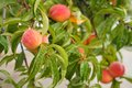 Peaches on a Tree Branch Royalty Free Stock Photo