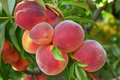 Peaches on tree Royalty Free Stock Photo