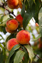 Peaches on a tree between green leaves Stock Image