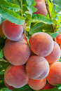Peaches on tree organic branch Stock Image