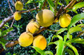 Peaches on tree organic grown yellow ready for harvest Stock Photography
