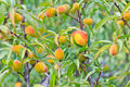 Peaches on the tree ripe its waiting for harvest Stock Image