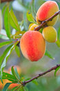 Peaches on the tree ripe its waiting for harvest Royalty Free Stock Images