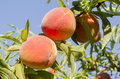 Peaches on tree ripe ready to pick branches Royalty Free Stock Photography