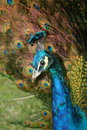 Peacock head and tail feathers Royalty Free Stock Photo