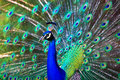 Royalty Free Stock Photos Peacock