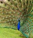 αερισμένα φτερά peacock Στοκ Εικόνα