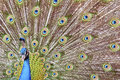 A Peacock Royalty Free Stock Photography