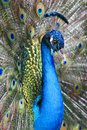 Royalty Free Stock Image Peacock