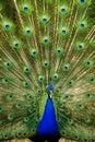 Peacock in action Stock Photos