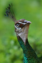 Peacock attentive with big eye Royalty Free Stock Images