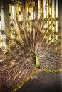 Peacock from Bali bird park Royalty Free Stock Photo