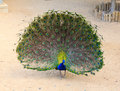 Peacock with beautiful multicolored feathers Stock Photo