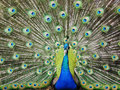 Peacock Bird Royalty Free Stock Photos