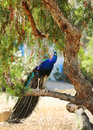 Peacock bright colorful sitting on a tree branch Stock Images