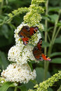 Peacock butterflies two on white buddleia flower Stock Image