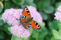 Peacock butterfly a beautiful nymphalidae scientific name inachis io on sedum spectabile flowers Royalty Free Stock Image