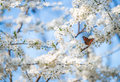Peacock butterfly on cherry blossoms Royalty Free Stock Photo