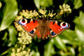 Peacock butterfly close up of a on ivy flowers Royalty Free Stock Photo